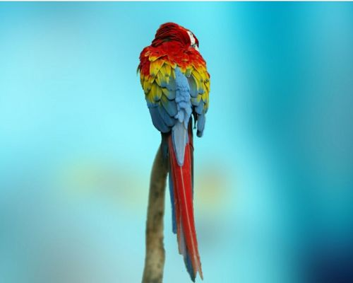 click to free download the wallpaper--Cute Animals Pic, Colourful Parrot on Blue Background, Beautiful and Impressive