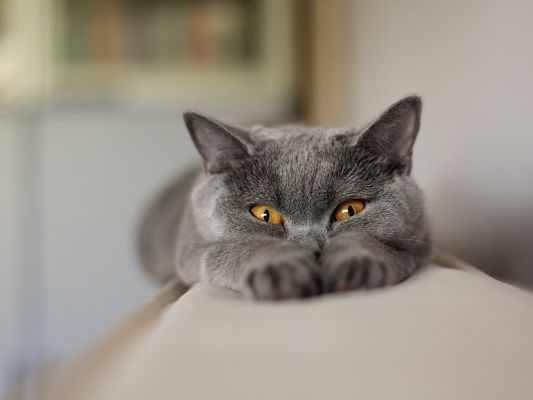 click to free download the wallpaper--Cute Animals Pic, Gray Cat's Body Fully Stretched, Orange Eyes, Funny Look