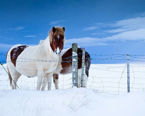 click to free download the wallpaper--Cute Animals Pic, Horses in the Snow, Majestic in Look, Won't Go Out of the Fence