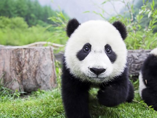 click to free download the wallpaper--Cute Animals Pic, Panda Baby, Come Close, I Want an Embrace, What a Cutie!