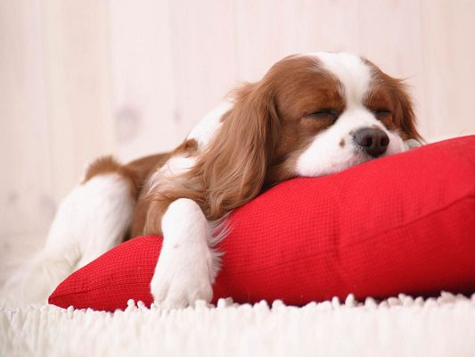 click to free download the wallpaper--Cute Animals Pic, Puppy Sleeping on the New Red Pillow, Long and Sound Sleep