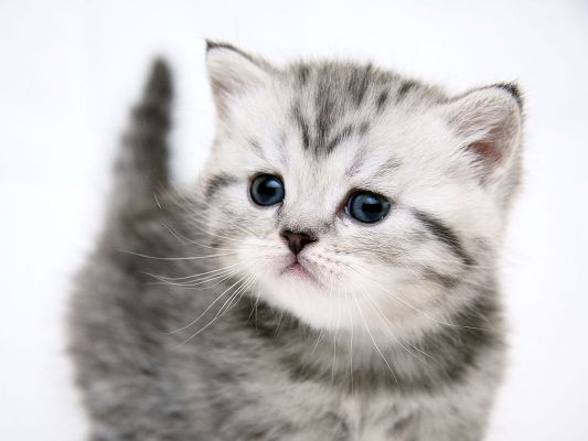 click to free download the wallpaper--Cute Animals Pic, Small and Cute Kitty, White Background, Innocent and Curious Facial Expression