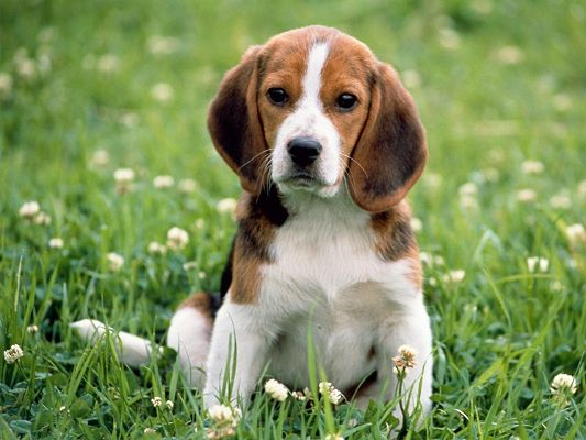 Cute Animals Post, Beagle Sitting on Green Grass, Attentive Facial Expression