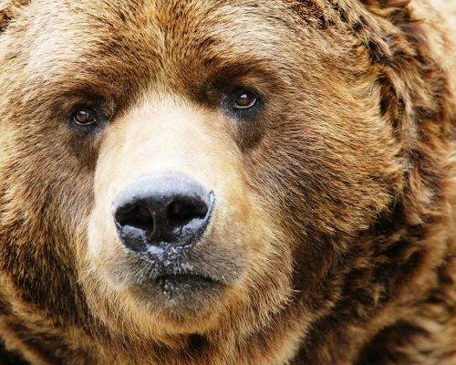 click to free download the wallpaper--Cute Animals Post, Brown Bear in Attentive Eyesight, Aiming At Something
