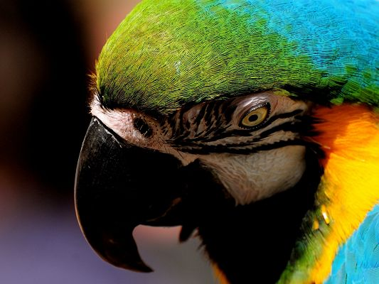 click to free download the wallpaper--Cute Animals Post, Colorful Parrot, Face Portrait, Deep in Its Thought