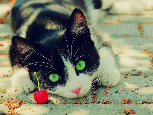 click to free download the wallpaper--Cute Animals Post, Kitty Lying Beside a Red Cherry, Unwilling to Move
