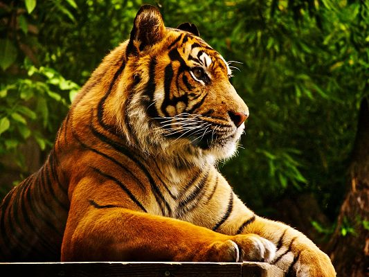click to free download the wallpaper--Cute Animals Post, an Attentive Tiger, Green Leaves, He is Focusing on a Target