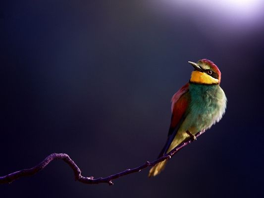 click to free download the wallpaper--Cute Animals Poster, Bee Eater Photo, a Colorful Bird on Thin Branch, Simple Purple Background