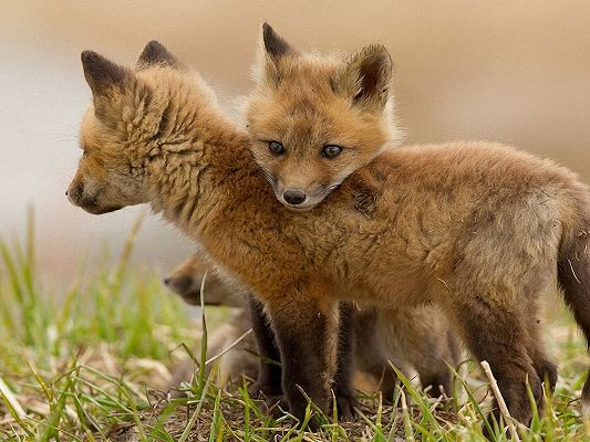Cute Animals Poster, Fox Cubs, Close to Each Other, We Are Brothers and Sisters
