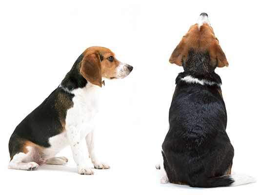 click to free download the wallpaper--Cute Beagle Dog Pic, Two Close Puppies, One's Face High Toward the Sky