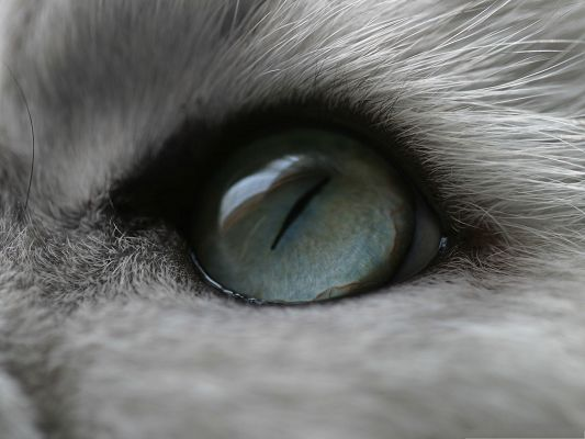 click to free download the wallpaper--Cute Cat Image, Kitten's Deep and Blue Eye, Gray Long Fur Around