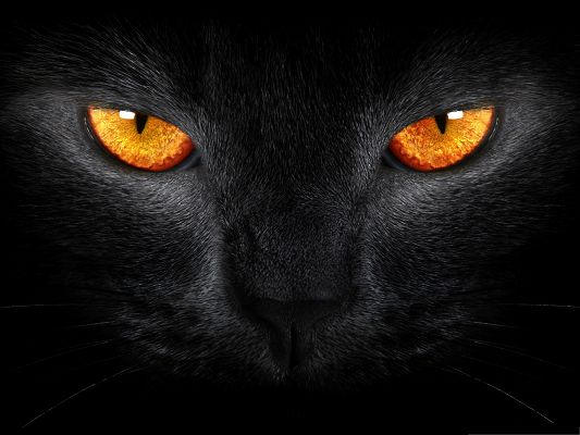 click to free download the wallpaper--Cute Cat Images, Black Cat in Smooth Fur, Golden Shinning Eyes