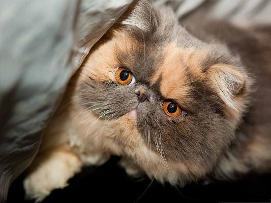 click to free download the wallpaper--Cute Cat Images, Exotic and Persian Cat, Iritated and Strange Look