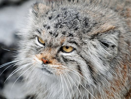 click to free download the wallpaper--Cute Cat Images - I am Grumpy Manul, I Speak for Myself!