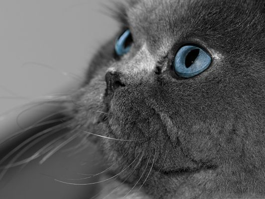 click to free download the wallpaper--Cute Cat Photos, Blue Eyed Cat in Gray Fur, Beard Being Pulled?