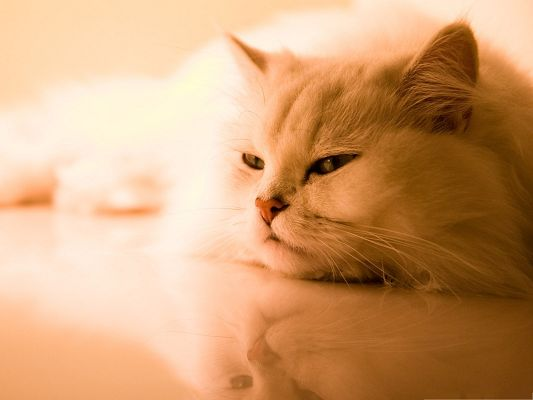 click to free download the wallpaper--Cute Cat Picture, Exotic White Cat Lying on Reflective Floor
