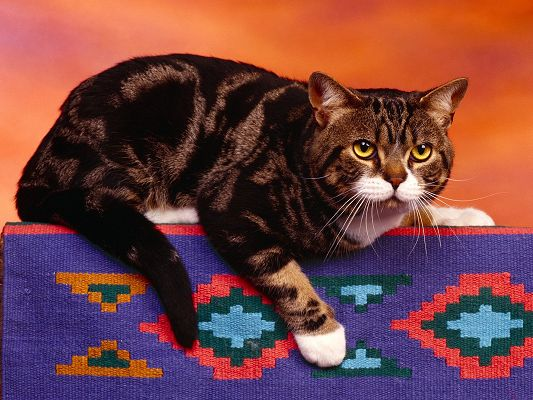 click to free download the wallpaper--Cute Cat Picture, Lying on Colorful Cloth, Chubby Body