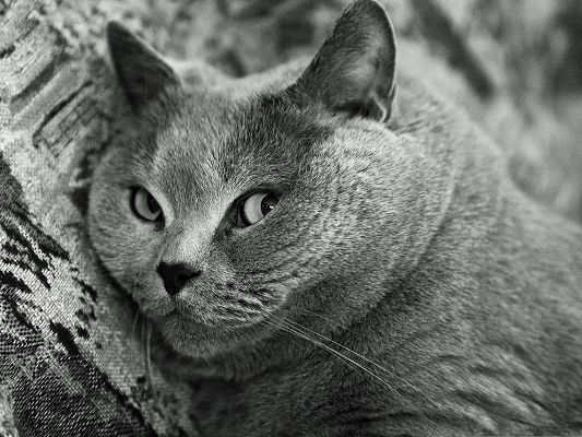 click to free download the wallpaper--Cute Cat Pictures, British Shorthair Cat, Attentive Eyes