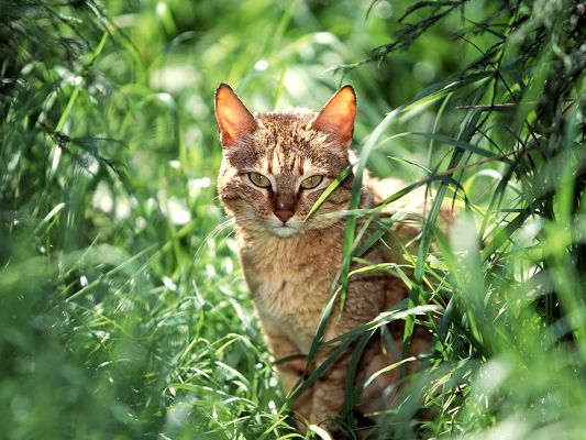 click to free download the wallpaper--Cute Cat Pictures, Brown Kitten Among Green Grass, Sharp Eyes