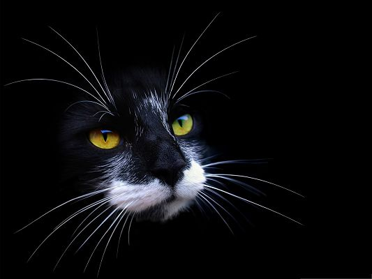 click to free download the wallpaper--Cute Cats Image, Black Cat with White Beard, Black Background