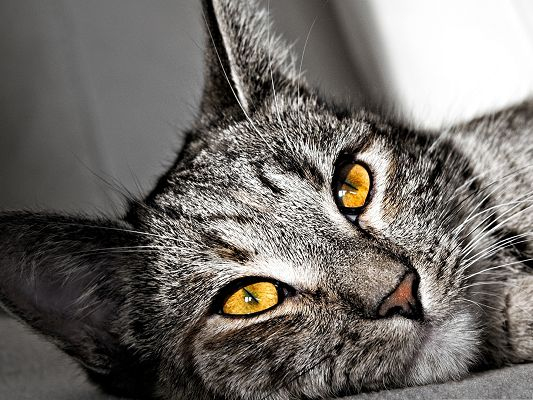 click to free download the wallpaper--Cute Cats Image, Kitten in Golden Eyes, Gray Fur, Impressive Look