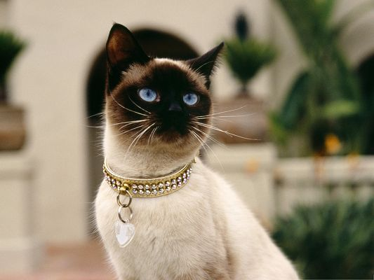 click to free download the wallpaper--Cute Cats Image, Siamese Cat in Diamond Circle, Decent and Graceful Lady