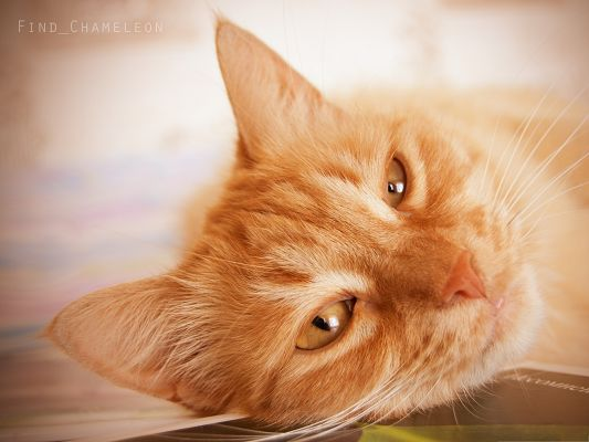 click to free download the wallpaper--Cute Cats Image, Sleepy Cat, Eyes About to Close, Amazing Look
