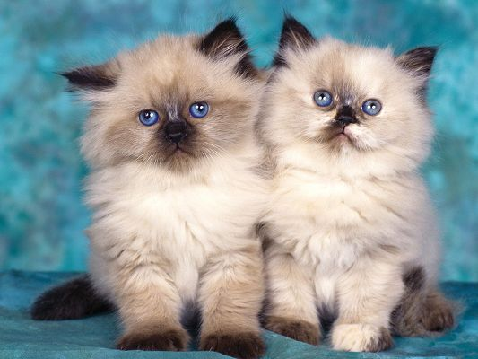 click to free download the wallpaper--Cute Cats Pic, Close Kittens, Like Twins, Close Connection