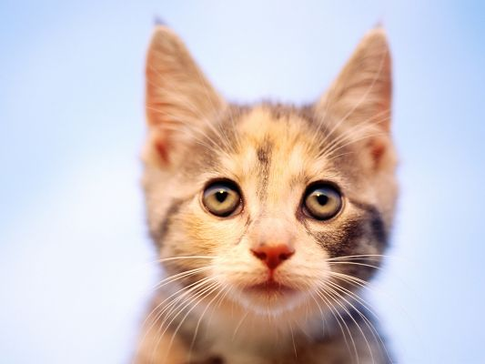 Cute Cats Picture, Kitten's Ears Up, Be Attentive of the Outside World