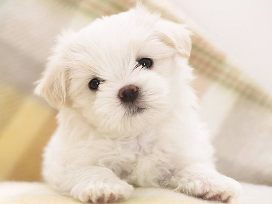 click to free download the wallpaper--Cute Dog Photo, White Fluffy Puppy Wrynecking, Black Shinning Eyes