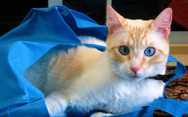 click to free download the wallpaper--Cute Kitten Pic, Cat in Blue Eyes, Stay in Blue Shopping Bag