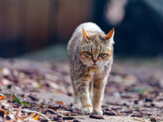 click to free download the wallpaper--Cute Kitties Image, Walking Kitty, Serious in Look, Is It Irritated?
