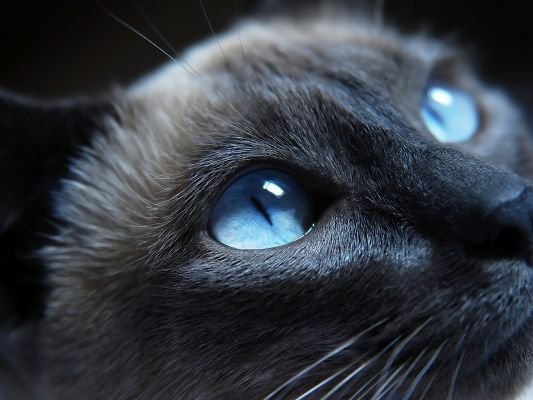click to free download the wallpaper--Cute Kitty Image, Blue Eyes, Face Portrait, is Lovely and Impressive