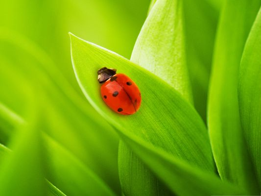click to free download the wallpaper--Cute Ladybug Image, Sleeping Insect on Green Plants, Great Scene