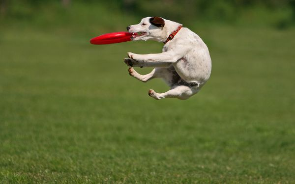 click to free download the wallpaper--Cute Pet Dogs Pic, Puppy Doing Catching, Jumping High, Warped Body