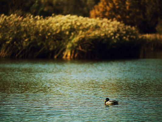 click to free download the wallpaper--Cute Pics of Animal, Duck on a Lake, Swift Swimming, Feeling Free and Comfortable
