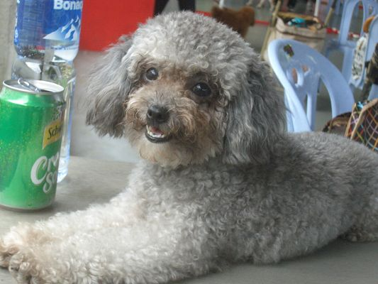 Cute Poodle at Home