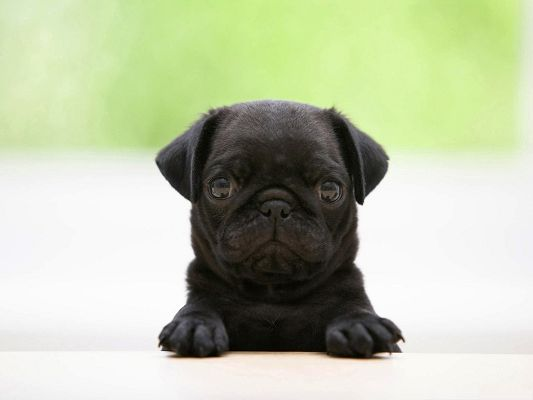 click to free download the wallpaper--Cute Puppy Image, Black Pug and Innocent Look, Strike a Deep Impression