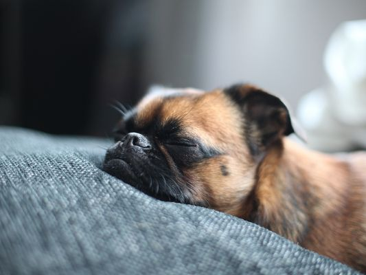 click to free download the wallpaper--Cute Puppy Image, Brown Dog in Sound Sleep, Hard to Wake Up