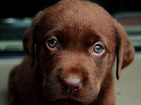 click to free download the wallpaper--Cute Puppy Image, Chocolate Dog in Blue Eyes, Innocent Look