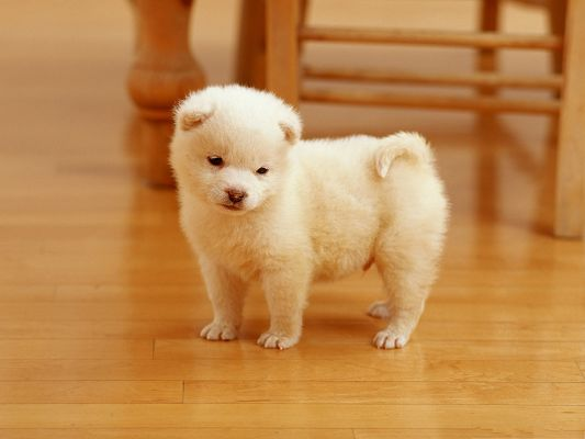 click to free download the wallpaper--Cute Puppy Image, White Little Puppy Wrynecking, What is Over There?