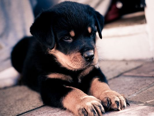 click to free download the wallpaper--Cute Rottweiler Puppy, Left in the Street, Honey, Where is Your Family?