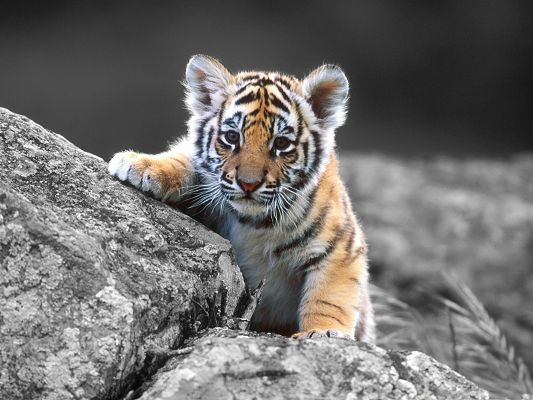 click to free download the wallpaper--Cute Tiger Cub, Little Tiger Curious About Pretty Everything