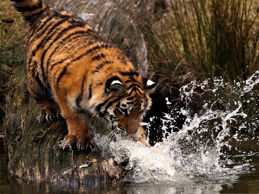 click to free download the wallpaper--Cute Tiger Pic, Little One Doing Fishing, Flying Droplet