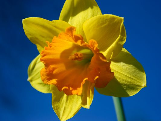 click to free download the wallpaper--Daffodil Flower Picture, Blooming Yellow Flower Under the Blue Sky