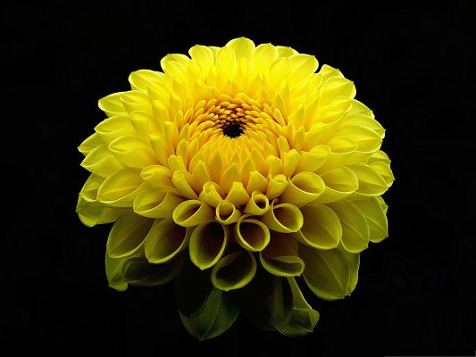 click to free download the wallpaper--Dahlia Flowers Photography, Yellow Flowers in Bloom, Long Stretched Arms