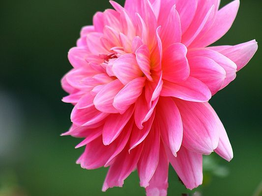 click to free download the wallpaper--Dahlia Photography, Pink Dahlia in Bloom, Green Background, Quite a Contrast
