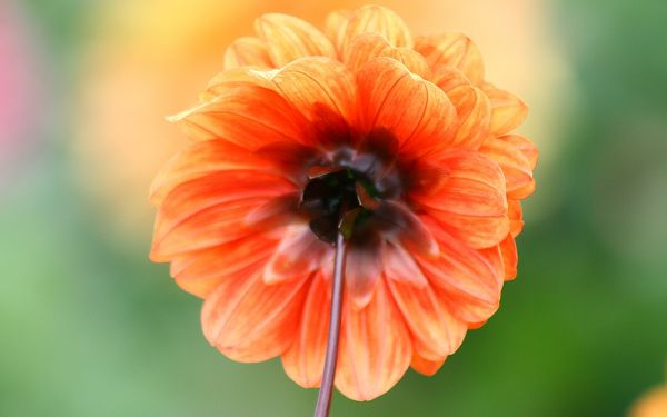 click to free download the wallpaper--Dahlia Photos, Orange Flowers on Green Background, Incredible Look