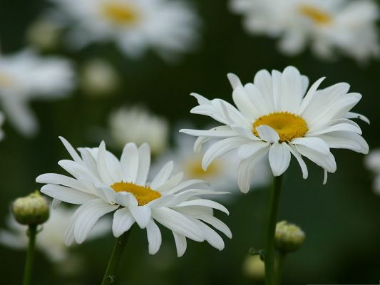 click to free download the wallpaper--Daisies Flowers Image, White Flowers in Bloom, Pure and Impressive Look