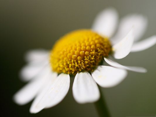 click to free download the wallpaper--Daisy Flowers Picture, Golden Flowers Under Micro Focus, Clean and Romantic Scene